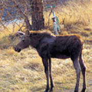 A Moose In Early Spring  Poster