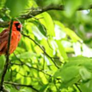A Northern Cardinal Enjoying The Springtime Poster