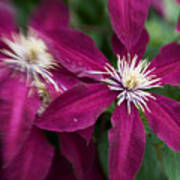 A Pair Of Clematis Flowers Poster