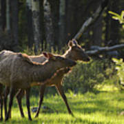 A Pair Of Cow Elk  Poster