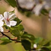 A Panoramic View Of A Cherry Tree Poster