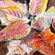A Peach Of A Poinsettia Poster