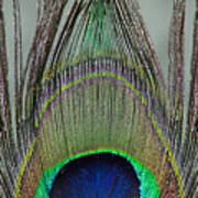 A Peek At A Peacock Feather Poster