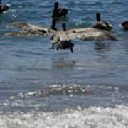 A Pelican In-flight At Playa Manzanillo Poster