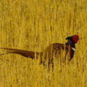 A Pheasant Looking For A Mate Poster