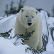 A Polar Bear In A Snowy, Twilit Poster by Norbert Rosing