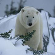 A Polar Bear In A Snowy, Twilit Poster