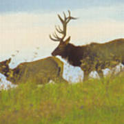 A Portrait Of A Large Bull Elk Following A Cow,rutting Season. Poster