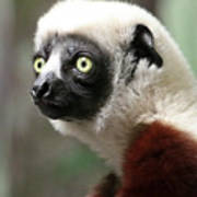 A Portrait Of A Sifaka Primate, A Large Lemur Poster