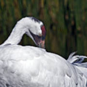 A Preening Whooping Crane Poster