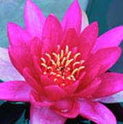A Red And Yellow Water Lily Flower Poster