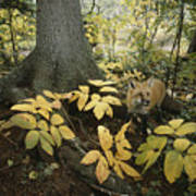 A Red Fox On Isle Royale In Lake Poster