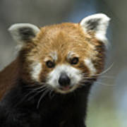 A Red Panda Ailurus Fulgens At Zoo Poster