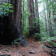 A Redwood Trail Poster