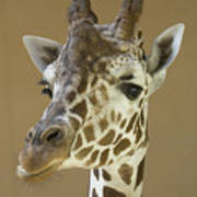 A Reticulated Giraffe Makes A Slanted Poster