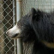 A Sloth Bear Melursus Ursinusat Poster by Joel Sartore