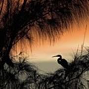 A Snowy Egret (egretta Thula) Settling Poster