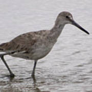 A Spotted Sandpiper Poster