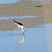 A Stilt Drinking Its Reflection Poster