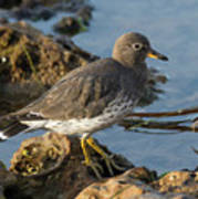 A Surfbird At The Tidepools Poster