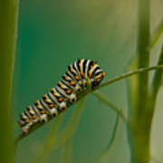 A Swallowtail Butterfly Caterpillar Poster
