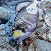 A Titan Triggerfish Faces Poster