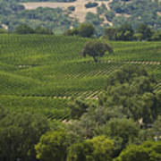 A Vineyard In The Anderson Valley Poster