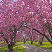 A Walk Down Cherry Blossom Lane Poster