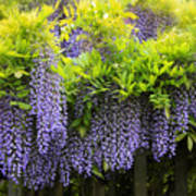 A Wealth Of Wisteria Poster