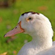 A White Duck, Side View Poster