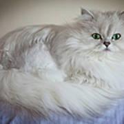 A White Persian Chinchilla Cat Poster
