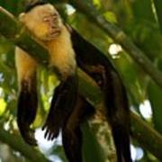 A White-throated Capuchin Monkey Poster by Roy Toft