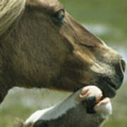 A Wild Pony Foal Nuzzling Its Mother Poster by James L. Stanfield
