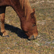 A Wild Pony In Assateague Poster
