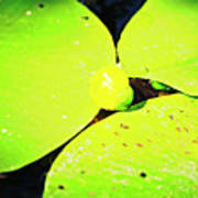 A Yellow Bud Of Waterlily Poster