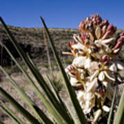 A Yucca Plant Blossoms In The Desert Poster