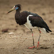 Abdim Stork Walks Right-to-left Across Muddy Ground Poster