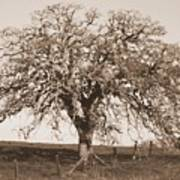 Acacia Tree In Sepia Poster