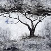 Acasia Tree Poster
