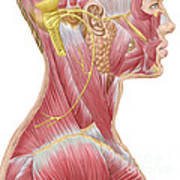 Accessory Nerve View Showing Neck Poster
