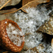 Acorn Cap Filled With Snow Poster