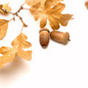 Acorns And Oak Leaves Poster by Utah Images