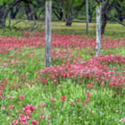 Adding A Splash Of Color-indian Paintbrush In Texas Poster