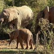 Addo Elephant Family Poster