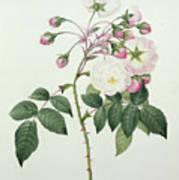Adelia Aurelianensis Poster