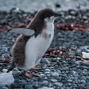 Adelie Penguin Chick Running Along Stony Beach Poster