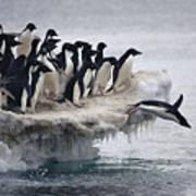 Adelie Penguin Pygoscelis Adeliae Poster by Tui De Roy