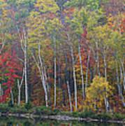Adirondack Birch Foliage Poster