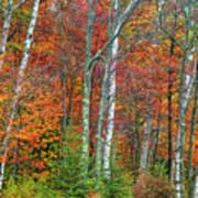 Adirondack Birches In Autumn Poster