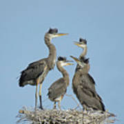 Adolescent Great Blue Herons Poster